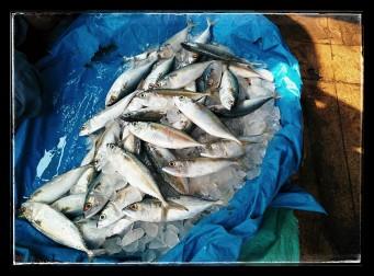 Mackareal(Bangda fish)
